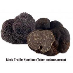 Black Truffle Mycelium (Tuber melanosporum)