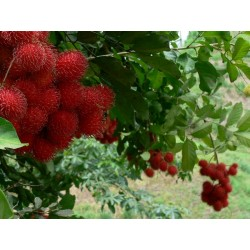 Graines de Ramboutan Fruits Exotiques