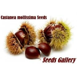 Chinesische Kastanie Samen (Castanea mollissima)