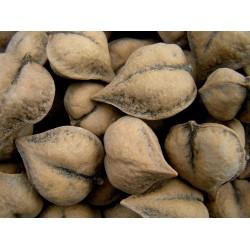 Graines NOIX DE COEUR - Juglans ailantifolia cordiformis