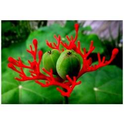 Exot Zimmerpflanze Obst !i TAMARINDENBAUM !i Terrasse Balkon Wintergarten Samen