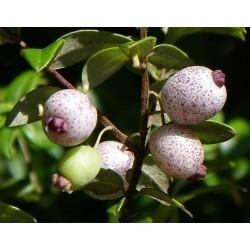 Austromyrtus dulcis Midgen Berry 20 Seeds