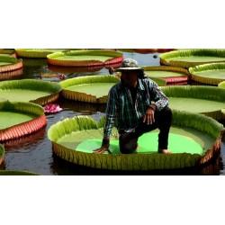 Graines de NÉNUPHAR GÉANT (Victoria amazonica)