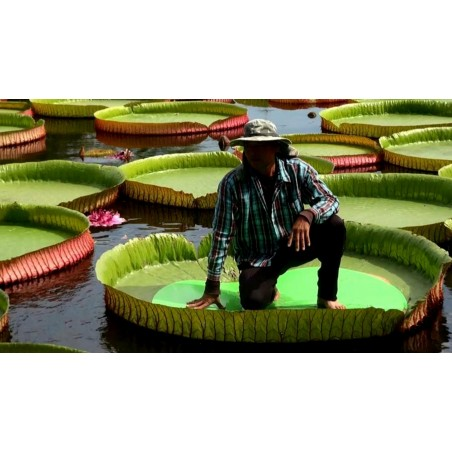 Giant Water Lily Lotus Seeds (Victoria amazonica)