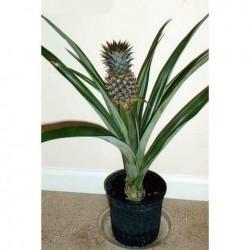 Ananas Seme Egzoticno Voce