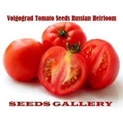 Σπόροι ντομάτας Volgograd - Ρωσική ποικιλία