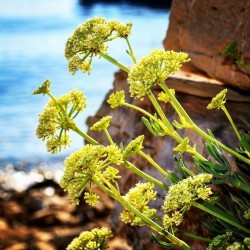 Samphire, Rock Samphire, Sea Fennel Seeds (Crithmum maritimum)