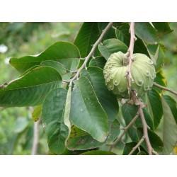 Kirimoja - Annona Cherimola frön