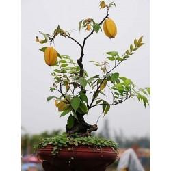 """""""Stjärnfrukt"""" Frön Averrhoa Carambola Tropical"""