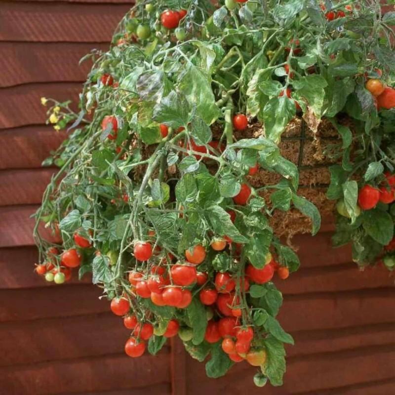Σπόροι ντομάτας κόκκινο και κίτρινο Tumbling Tom