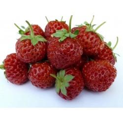 """Sementes de Morango """"Framberry""""  framboesa"""