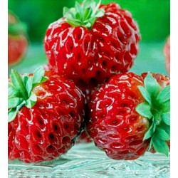 "Rare ""Framberry"" Strawberrie Seeds ""RED DREAM"""