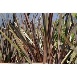 Graines Lin de Nouvelle Zélande Panaché