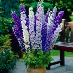 Semillas de Rocket Larkspur