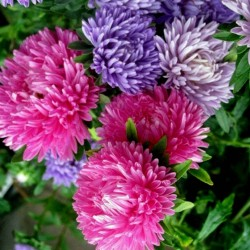 China Aster Seeds