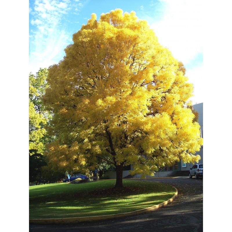 Semillas de un árbol de Fresno 1.5 - 3
