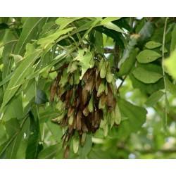 Semillas de un árbol de Fresno 1.5 - 1