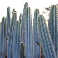 Blue Columnar Cactus Seeds (Pilosocereus pachycladus) 1.85 - 2