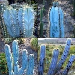 Blue Columnar Cactus Seeds (Pilosocereus pachycladus) 1.85 - 10