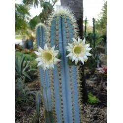 Blue Columnar Cactus Seeds (Pilosocereus pachycladus) 1.85 - 15