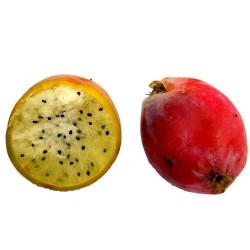 Seme kaktusa Caracore (Cereus dayamii) 1.85 - 5