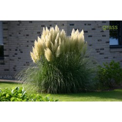 Grass Pampas White Samen 1.5 - 1