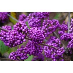 Japanese beautyberry Seeds (Callicarpa japonica) 1.85 - 5