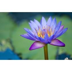 Lotus Ινδικός λωτός σπόρων μικτά χρώματα (Nelumbo nucifera) 2.55 - 4