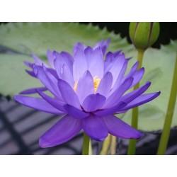 Lotus Ινδικός λωτός σπόρων μικτά χρώματα (Nelumbo nucifera) 2.55 - 5