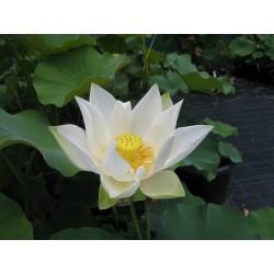 Graines de Lotus sacré couleurs mélangées (Nelumbo nucifera) 2.55 - 7
