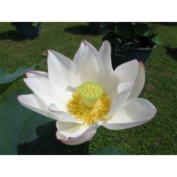 Sacred Lotus Seeds mixed colors (Nelumbo nucifera) 2.55 - 8