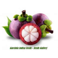 Seeds Exotic Garcinia indica Kokum butter tree, Mangosteen