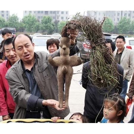 Fo-ti, He-shou-wu Seeds (Polygonum multiflorum) 4.95 - 9