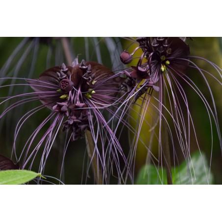 BLACK BAT FLOWER Seeds (Tacca chantrieri) 2.85 - 4