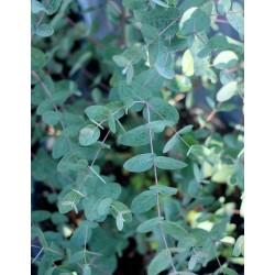 Eucalyptus Gunnii Seme (Cider Gum Tree) 2.5 - 4