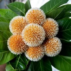 Burflower-Tree, Laran Seeds...