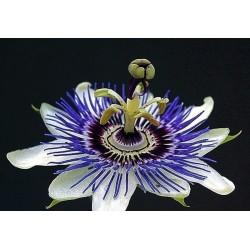 Hristov Venac Seme - Passiflora ligularis