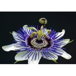 Passion Flower Seeds Passiflora ligularis