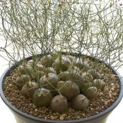 Schizobasis Intricata Seeds - Caudex Forming Succulent 4.85 - 8