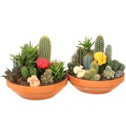Graines De Cactus Mix 15 espèces différentes 2.25 - 3
