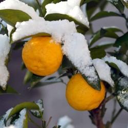 Semillas de Yucha - Yuzu cítricos japoneses -20 ° C (Citrus junos) 4.15 - 1