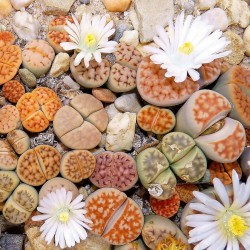 Graines de Lithops 1.5 - 3