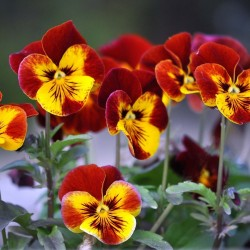 Pansy Seeds (Viola tricolor) 1.85 - 1