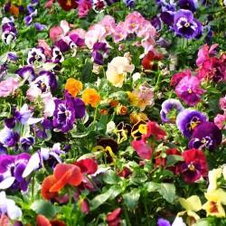 Semillas de Pensamiento (Viola tricolor) 1.85 - 2