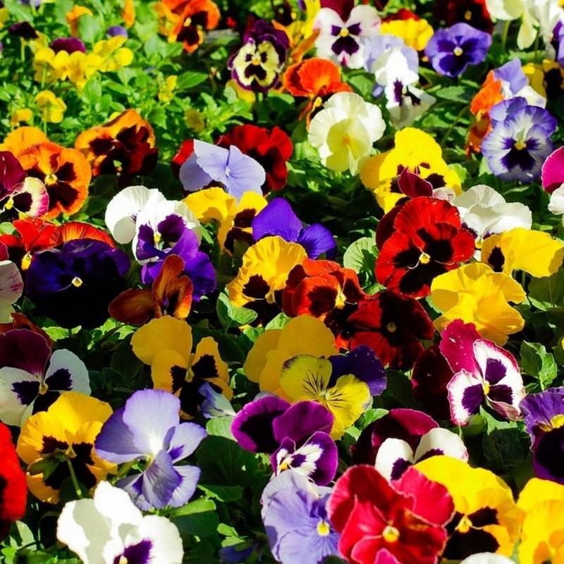 Stiefmütterchen Samen (Viola tricolor) 1.85 - 3