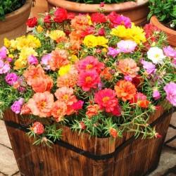 Graines de Pourpier à grandes fleurs 2.5 - 1