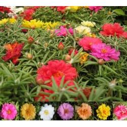Graines de Pourpier à grandes fleurs 2.5 - 3
