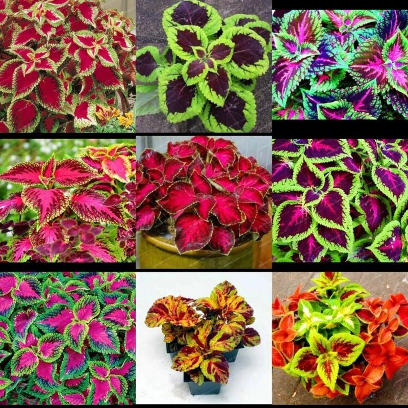Solenostemon Seeds (coleus) Wizard Mixed Colors 1.55 - 5