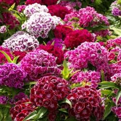 Graines Dianthus barbatus fleurs comestibles 1.85 - 1