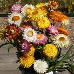 Garten Strohblume Samen 1.95 - 1